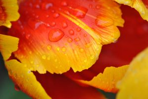 Raindropped Tulip by PennineRosa