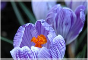 Crocus Vernus by lovingenglish
