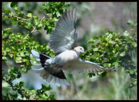 Flying Collared Dove by Somebody-Somewhere