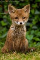 Fox Cub 06 by Alannah-Hawker