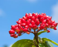 Red Berries by crispynoodle