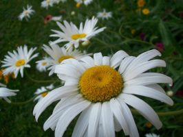 Daisy Galore 02 by DominosAreFalling
