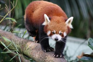 Red Panda by addicted-romantic