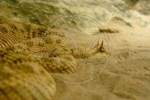 Horned Viper by RossoCorvino