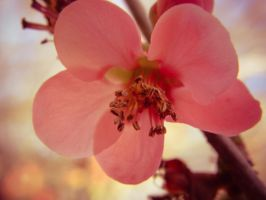 Japanese Rose Blossom by barefootphotos