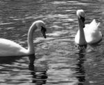 Swans by janebug