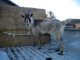 Next Project- Rambo the Goat by Minotaur-Queen