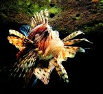RAWR I'm a Lionfish by ABT-Photography