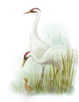 Whooping Cranes by bluebirdjoy