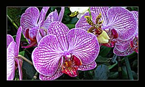 Orchid I by Scarlettletters