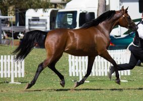 STOCK - TotR Arabians 2013-256 by fillyrox