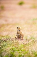 Prairie Dog by JessicaDobbs