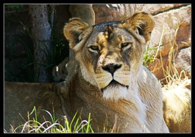 Lion hiding in the shade by valkyrjan