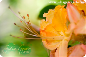 Orange Blossom by JuliaGraceArts