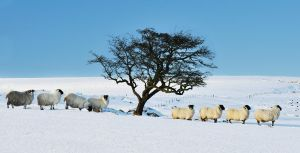 Sheep in the Snow 5 by younghappy