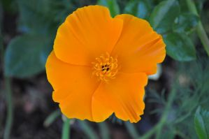 Orange california poppy by snoogaloo
