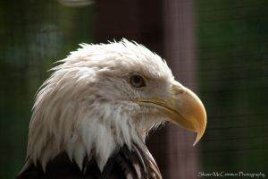 Bald Eagle 1 by aseaofflames