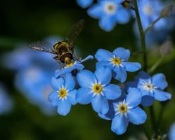 Fly on Forget-me-not by Enigmaticus