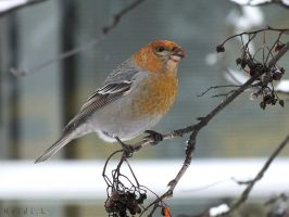 Pine Grosbeak 1 by Heidileh