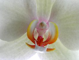 orchid 1 by Mittelfranke