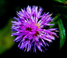 Thistle by MP-Tuomela