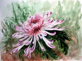 chrysanthemum by danuta50