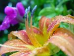 lily in the rain by interstitial