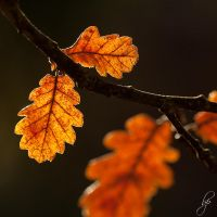 Brownleaf by OK-Photography