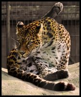 Leopard Yoga by Skia