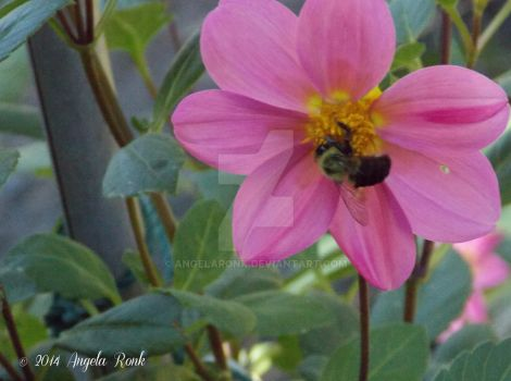 Pink Flower with Busy Bee by angelaronk