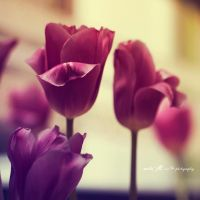 ..: beauty closed in a tulip :.. by Moth-called-Marigold