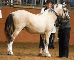 STOCK - 2014 Welsh QLD Show-38 by fillyrox