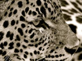 Jaguar BW by Alice-view