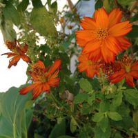 Orange Flowers by Ashleaf7546