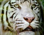 White Tiger by The-Other-Half-Of-Me
