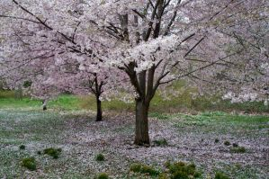 Cherry Blossoms 5 by FairieGoodMother
