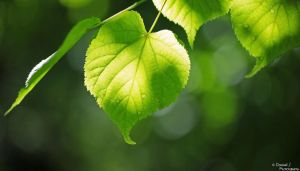 Green Leaf. by DominikJPhotography