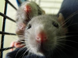 My sisters rats by Queenof-The-Darkness