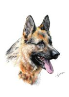 German Shepherd by arhicks