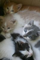 kittens by suvimon