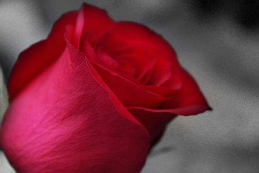 Rose 1 by kf13