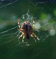 Mending Her Web by Forestina-Fotos