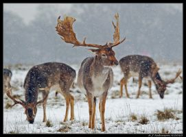 Snowy Deer by andy-j-s