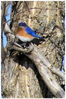 Eastern Bluebird 2 by SuicideBySafetyPin