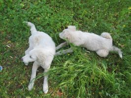White puppies 1 by FuriarossaAndMimma