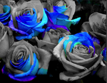 Blue Rose by Sapphire-Rose15