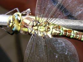 Dragonfly2 by Steelspike