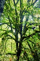 Mossy tree by blakelemmons