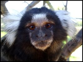 An Up-Close Marmoset by mikewilson83