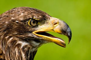 Juvenile Bald Eagle by Destined2see